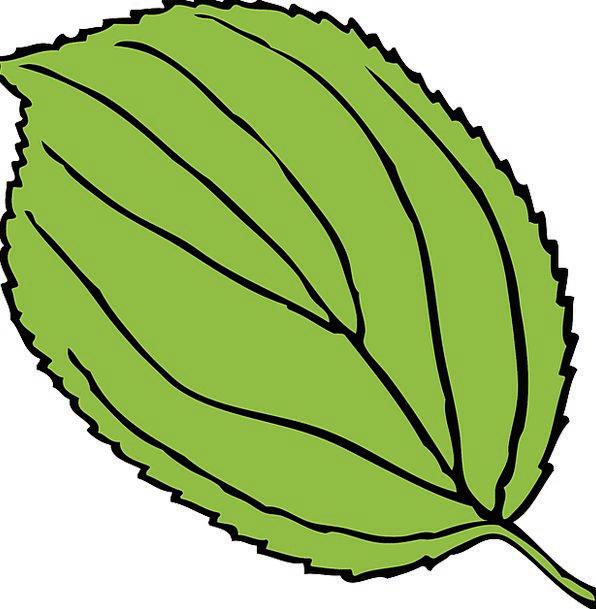 Apple Foliage Green Lime Leaf Serrate Notch Free V