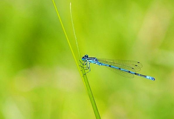 Azure Damselfly Insect Damselfly Details Blue Azur