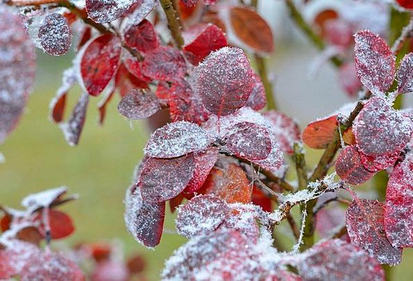 Judas Tree Greeneries Hoarfrost Frost Leaves