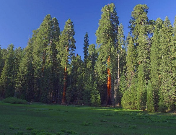 Sequoia Trees Landscapes Nature California Sequoia