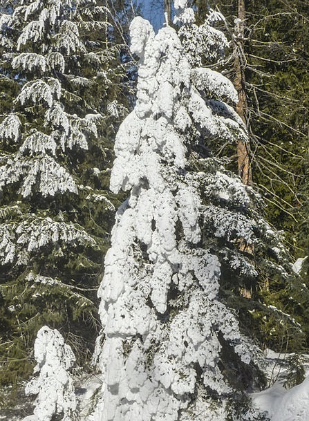 Snow Snowflake Landscapes Sapling Nature Fir Tree