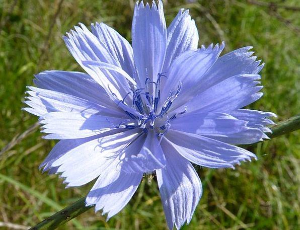 Meat Herbs Floret Blue Azure Flower Sugarloaf Autu