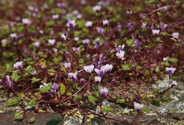 Dulcimer Herb Floret Blue Azure Flower Plantaginac