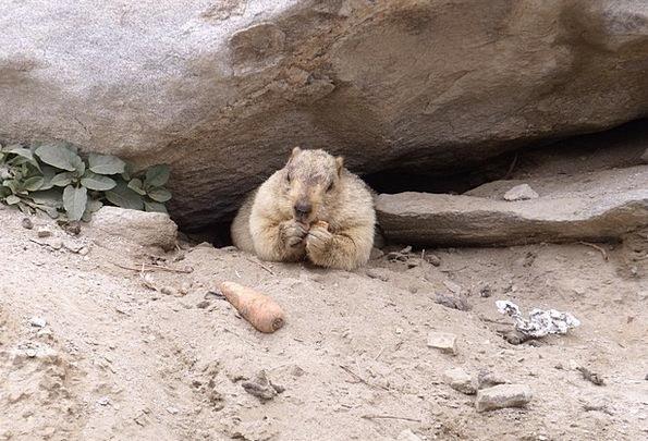 Marmot Himalayas Rodent Creature Karakorum Zoo Wil