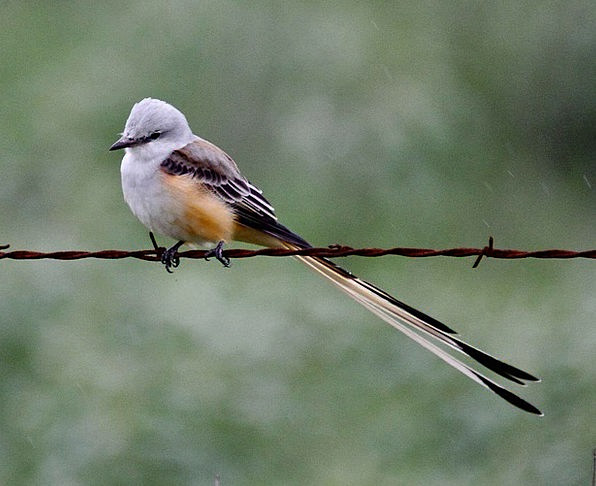 Forficatu Bird Fowl Tyrannus Flycatcher Fauna Tail