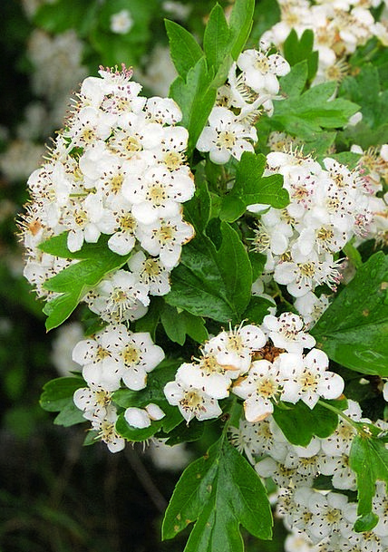 Hawthorn White Snowy May-Tree Blossom Close-Up Flo