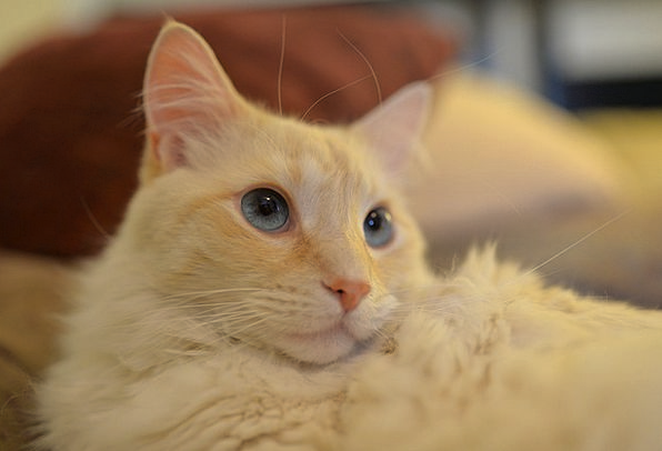 Cat Physical Domestic National Animal Portrait Pet