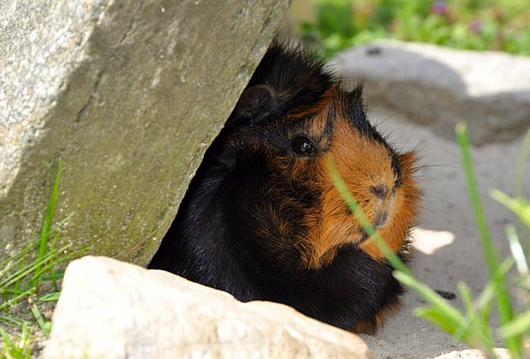 Guinea Pig Physical Rodent Animal Nager Meadow Bri