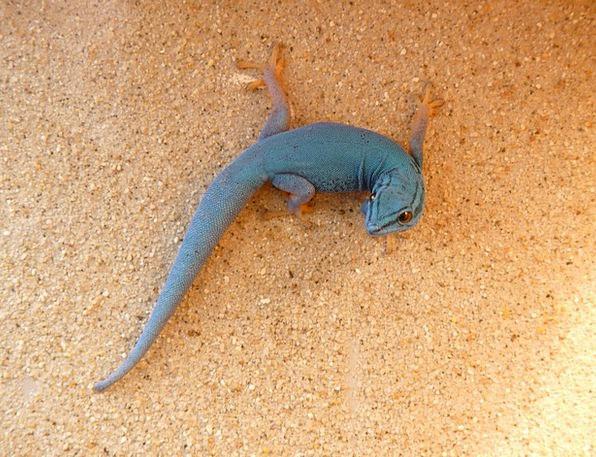 Cerulean Azure Gecko Dwarf Day Gecko Creature Rept