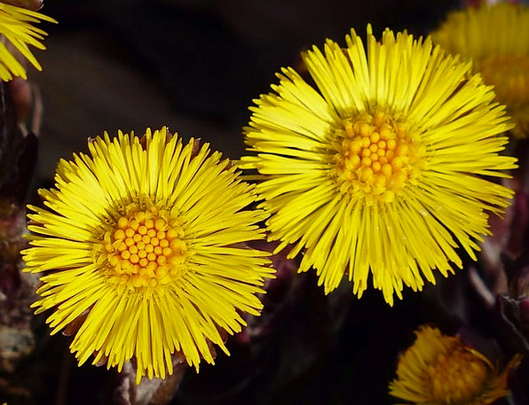 Tussilago farfara floret macro instruction flower medicinal tussilago farfara floret macro instruction flower mightylinksfo