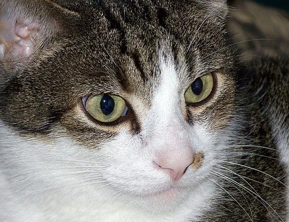 Cat Fund Feline Catlike Kitty Breed Kitten Tabby P