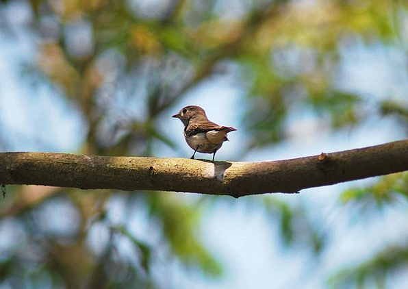 Small Minor Fowl Goa Bird Wild Benaulim Wildlife I