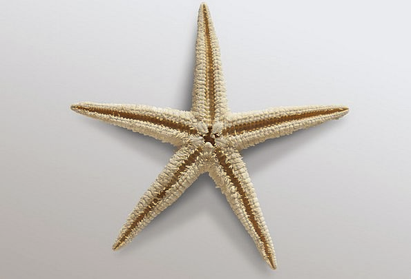 Starfish Echinoderms Sea Asteroidea Poor Holiday B