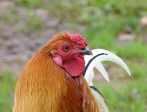 Rooster Raise Chicken Cowardly Cock Capon Barnyard