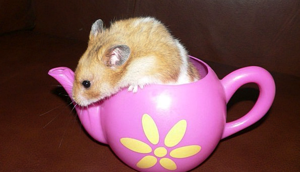 Hamster Pet Domesticated Rodent Animal Physical Pi