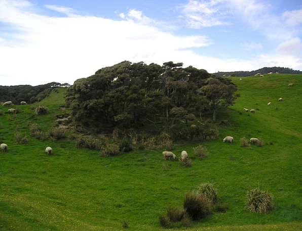 New Zealand Landscapes Ewe Nature Meadow Field She