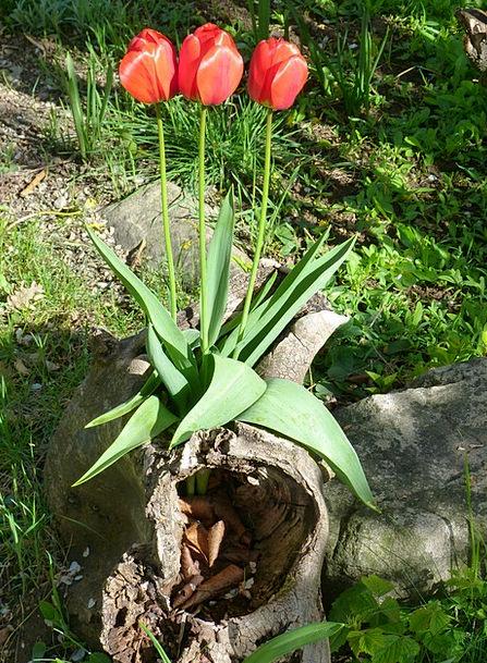 Red Tulips Landscapes Plants Nature Garden Plot Fl