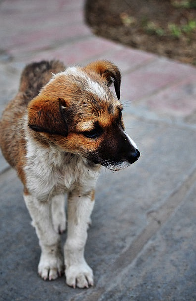 Puppy Brat Misplaced Cute Attractive Lost Abandone