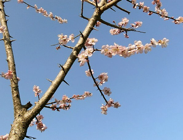 Plum Desirable Pink Flushed Plum Blossoms Arboretu