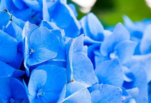 Flowers Plants Landscapes Nature Petals Hydrangea