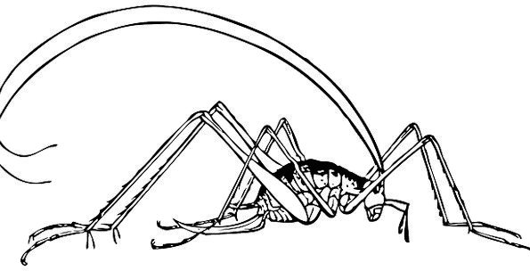 Cricket Bug Germ Insect Creature Antennas Feelers