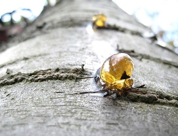 Resin Mastic Sapling Liquid Runny Tree Macro Secre