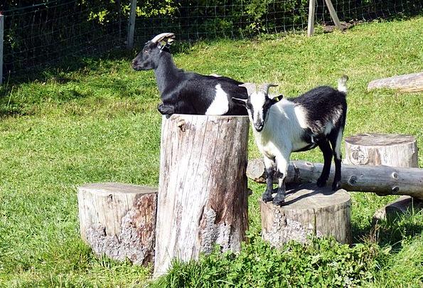 Goats Enjoy Heat Wood Stock Dear Beloved Black And