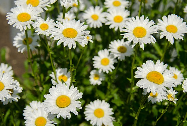 Chamomile Plants Daisy Flowers White Snowy Summer