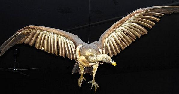Condor Museum Gallery Bird Of Prey Natural History