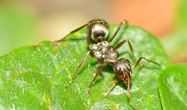 Hymenoptera Serviformica Ant