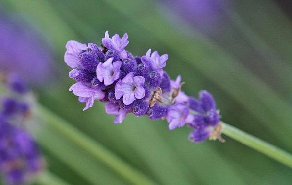 Lavender Landscapes Nature Flower Floret Lavender
