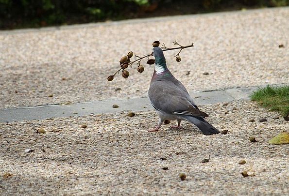 Pigeon Mark Natures Dove Pacifist Birds Wild Freed