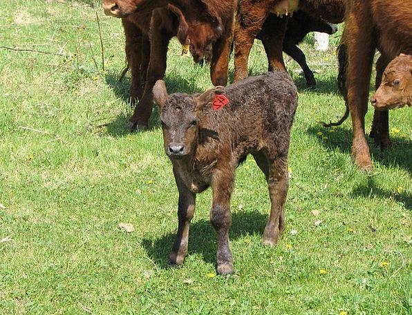 Calf Intimidate Livestock Cow Herd Beef Complaint