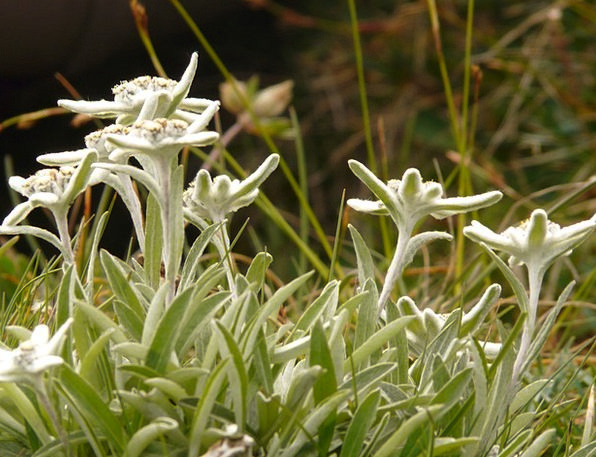 Edelweiss Landscapes Nature Rarely Infrequently Al
