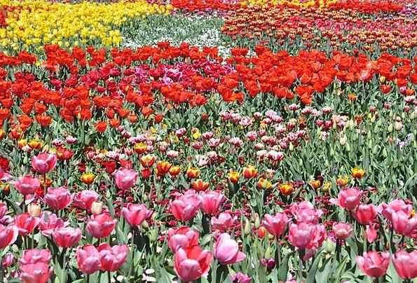 Flower Floret Field Arena Tulip Floriade Floral Fl