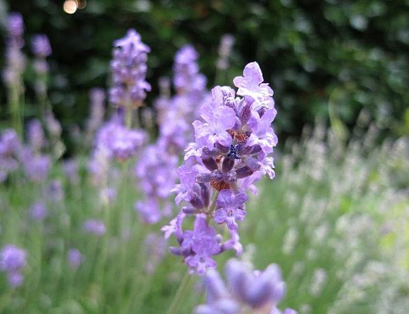 Lavender Violet Lime Purple Elaborate Green