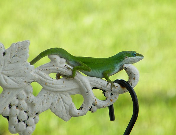Lizard Green Lime Reptile Fauna Iguana Scale Wildl