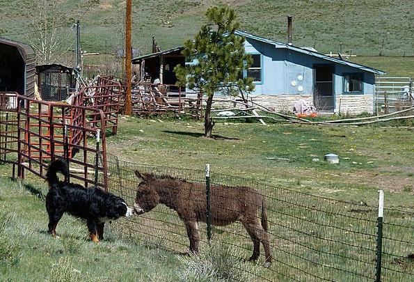 Donkey Landscapes Nature Canine Doglike Bernese Mo