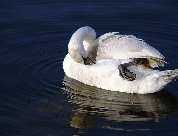 Swan Wander Cygnus Olor Mute Swan Duck Bird Feathe