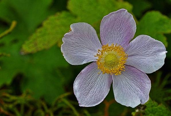 Anemone Landscapes Nature Flower Floret Grapeleaf