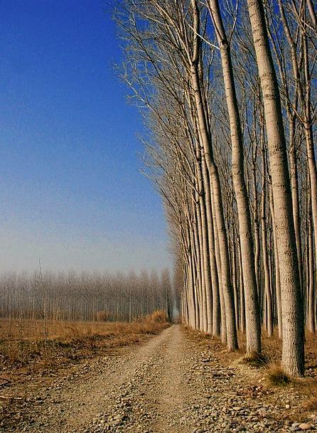 Plantation Estate Timber Poplar Wood Wood