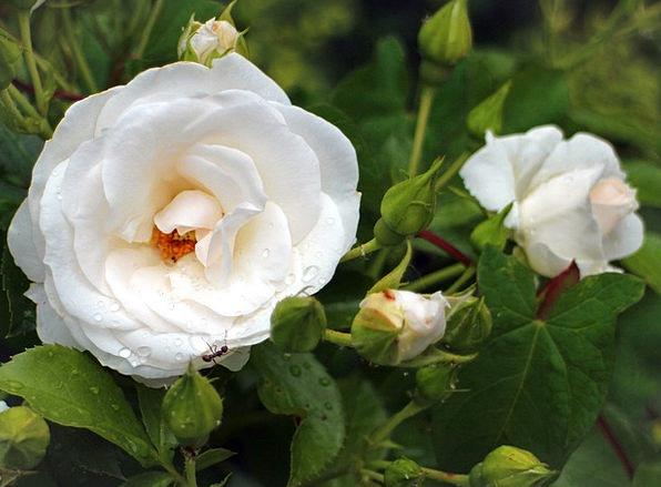 Rose Design Landscapes Floret Nature White Snowy F