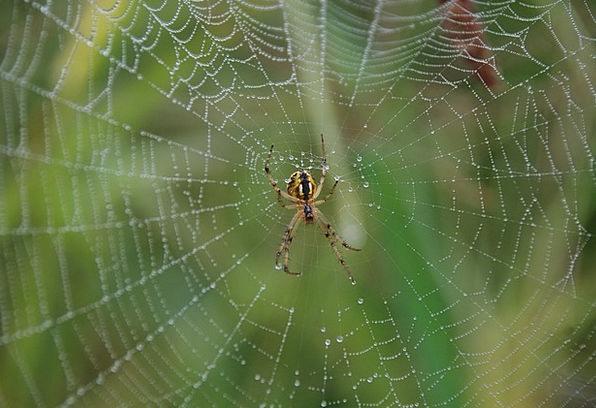 Spider Dew Precipitation Spider Web