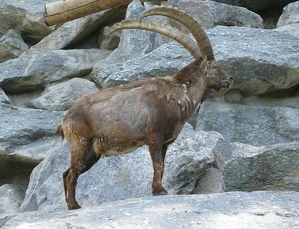 Capricorn Innsbruck Alpine Zoo