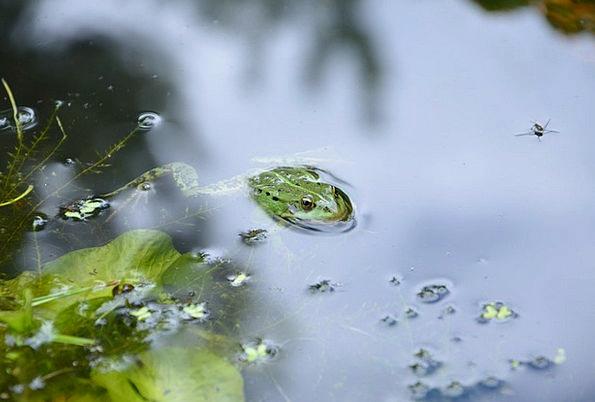 Frog Pool Water Aquatic Pond