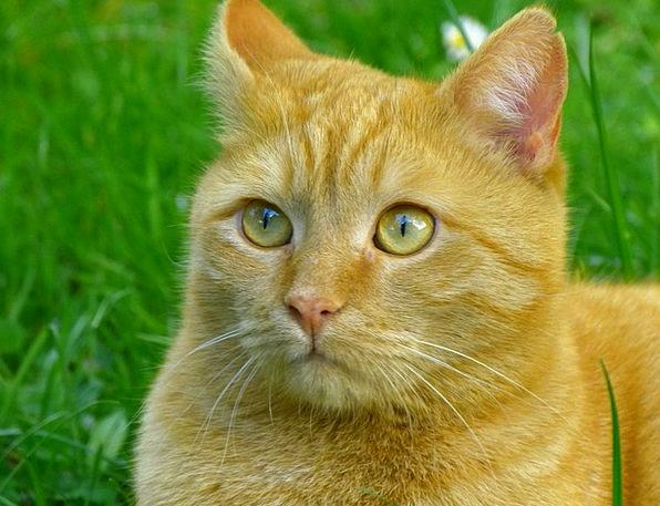 Cat Feline Red Bloodshot Mackerel Hangover Afterma