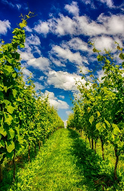 Winegrower Winery Orchard Plantation Grapes