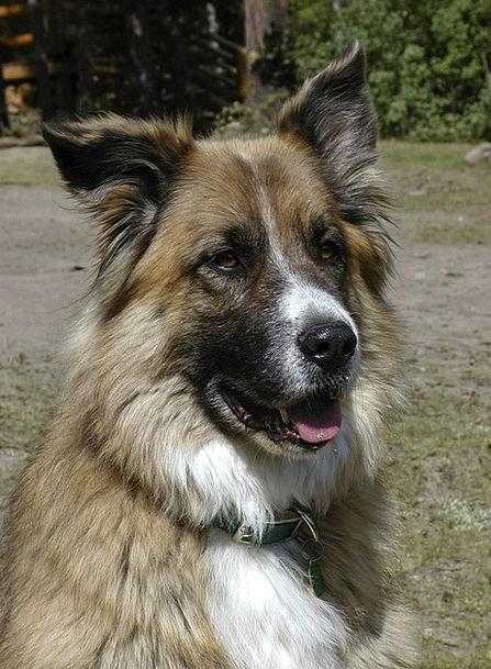 Dog Pet Domesticated Saint Bernard Canine Doglike