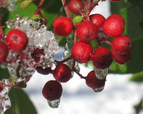 Winter Season Landscapes Ice Nature Berries Frost