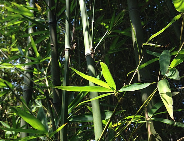 Bamboo Cane Landscapes Greeneries Nature Plant Veg
